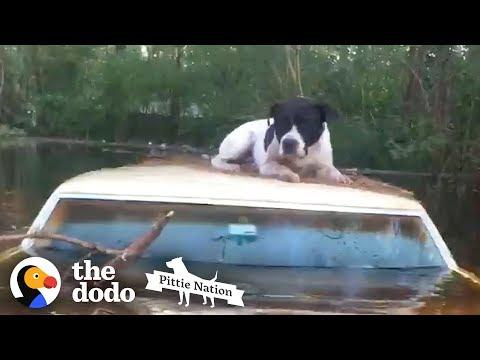 Pit Bull Saved from Hurricane Floods Moments Before it's too Late | The Dodo Pittie Nation