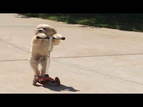 Impressive Dog Rides Scooter