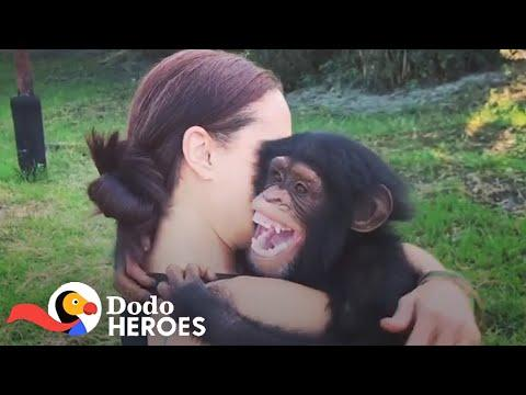 When You Just Can't Stop Rescuing Chimpanzees Video | The Dodo Heroes