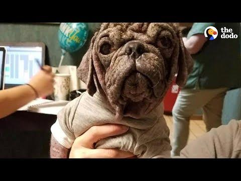 Stray Pug Makes The Most Amazing Transformation  | The Dodo