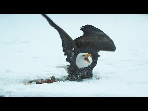 Bald Eagles Clash - Alaska: Earth's Frozen Kingdom