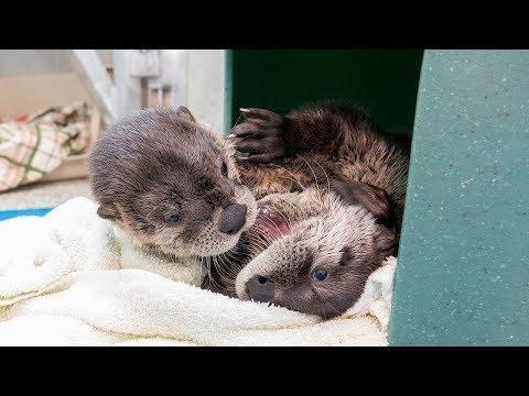 River Otter Pup Rascals