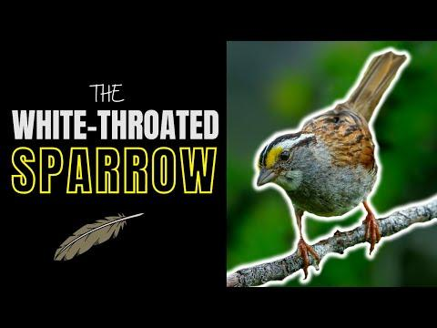 The White-throated Sparrow | Adorable Songster of the North #Video