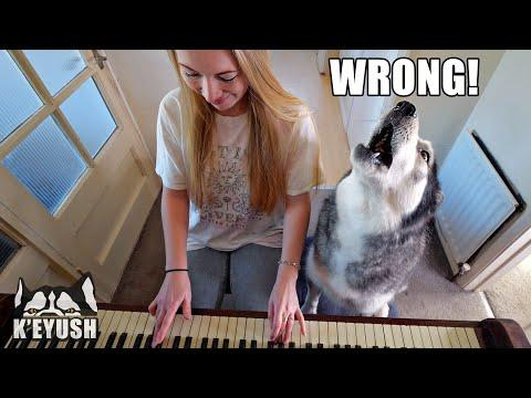 Teaching My Husky To Play Piano Video! He SMACKS Me!