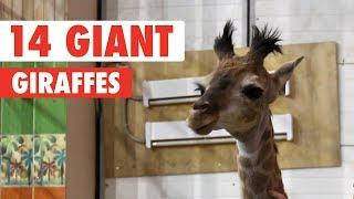 Awkward Giraffes | Funny Animal Compilation 2018