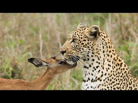 Leopard Befriends Impala: Unusual Predator