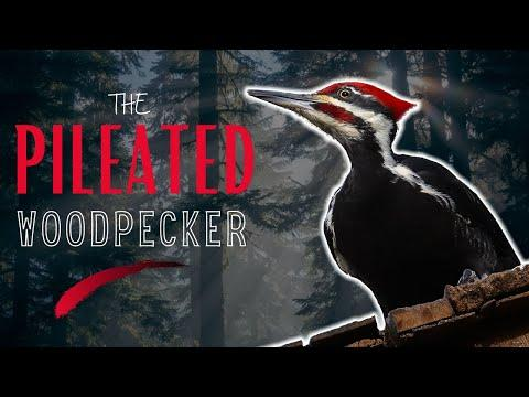 The PILEATED WOODPECKER | The LARGEST in North America! #Video