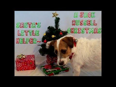 Santa's Little Helper! A Jack Russell Christmas