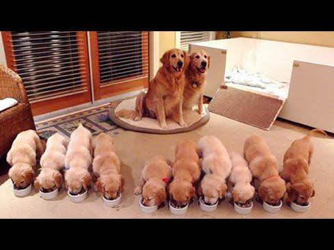 Funny and Cute golden retriever Puppies Compilation Video #3 - Cutest Golden Puppies