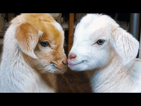 Baby Goats Jumping - Cute Goat Cute Videos - Funny Goats Video