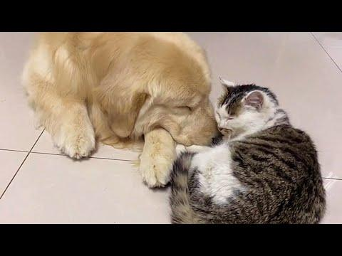 Golden Retriever Feed Stray Cat and Made Him Stay At Home Video
