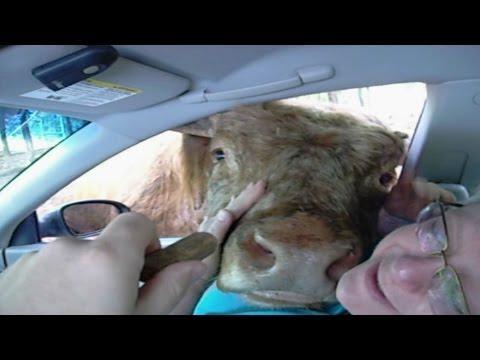 Cow Licks Woman Through Car Window
