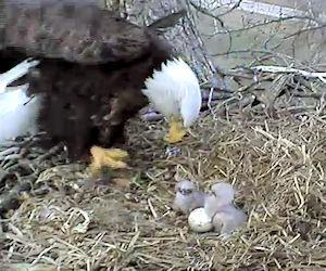 Decorah Eagles Web Cam