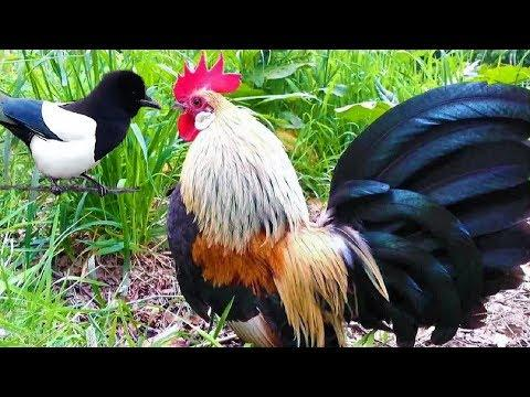Crowing Roosters & Friends – Funny Laughing Roosters Video – Rooster Crowing Videos