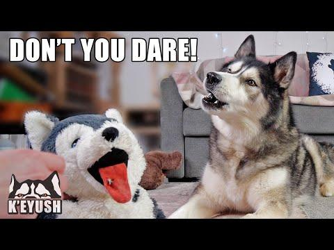 Gave My Husky's Food To Another DOG Video! He's Jealous!