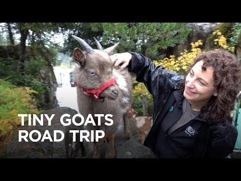 Tiny Goats Road Trip!