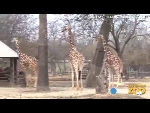 Prancing Giraffe Gets Really Excited About Warm Weather