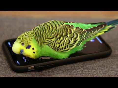 Parakeet activates Siri on iPhone video - prolific talking parakeet!