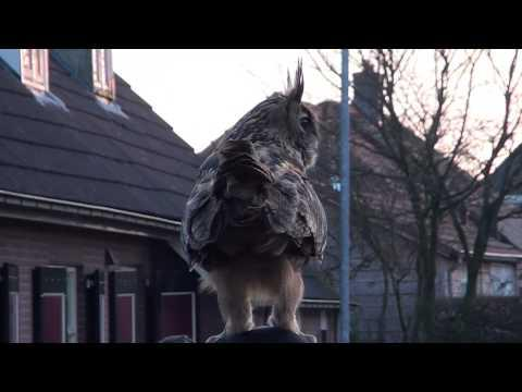 Owl Lands On Woman's Head - What A Hoot!