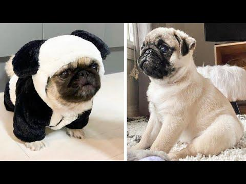 AWW SOO Cute and Funny Pug Puppies - Funniest Pug Ever #22 #Video