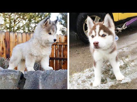 Funny And SOO Cute Husky Puppies Compilation #31 - Cutest Husky Puppy #Video