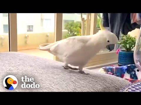 This Wild Cockatoo Does This To His Favorite Person Every Day. Video.
