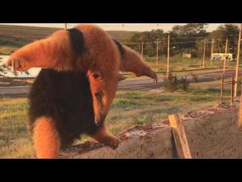 Ant Eater Wants To Fight Video. Your Daily Dose Of Internet.