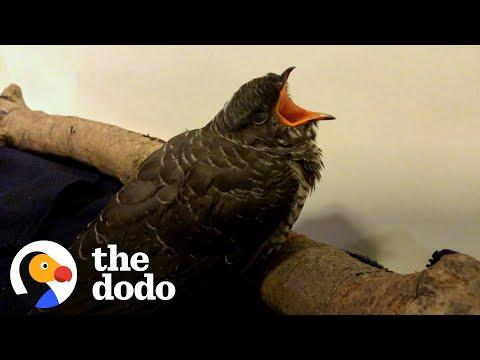 Rescued Cuckoo Turns Back To Thank His Rescuer Being Flying Away Video