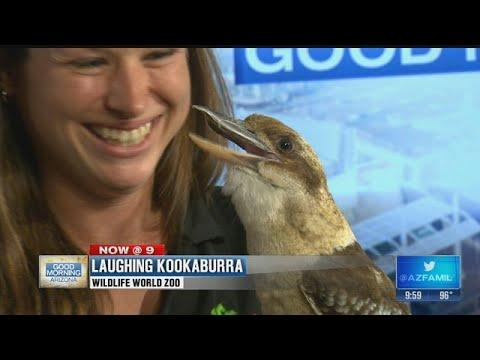Meet the Laughing Kookaburra