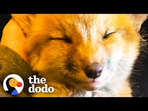 Growling Baby Foxes Turn Into Sleepy Puppies On Their Rescuer's Lap #Video