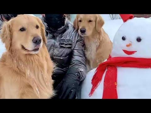 Golden Retrievers Wants to Build a Snowman Video