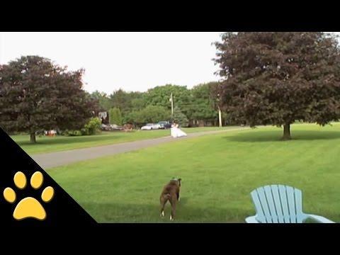 Dog Takes Down Bride