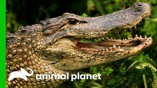 Huge 8ft Long Alligator Spotted On Woman's Plant Nursary   Gator Boys