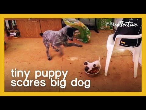 Tiny Puppy Scares Big Dog Video