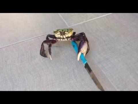 Knife Carrying Crab