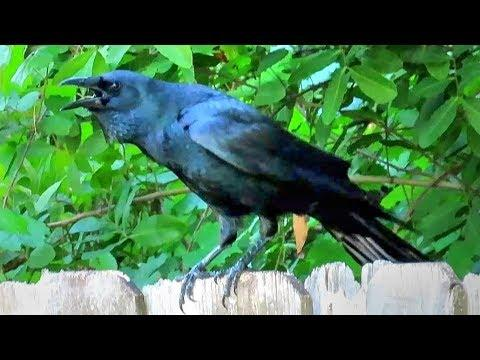 Fish Crow Sounds and Calls