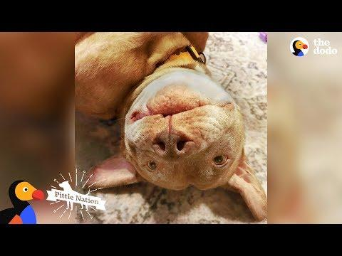 Senior Pittie Gets A Second Chance At Puppyhood