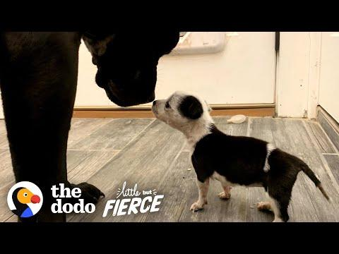 Tiniest Puppy Grows Up To Boss Around 100-Pound Dogs Video