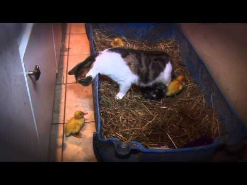 AMAZING Cat Feeding Ducklings