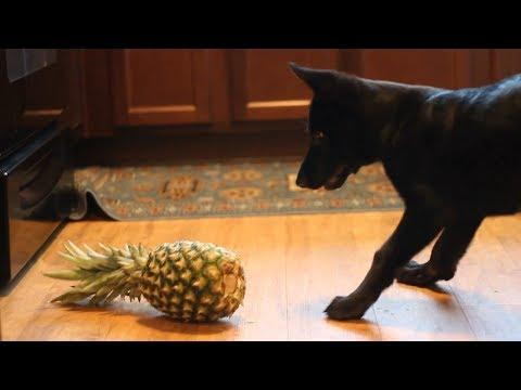 Funny Dogs Scared of Pineapples - Funny Dog Videos (2018)