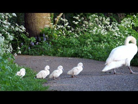 Mute Swan family with 4 Cygnets #Video