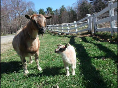 1 Day Old Baby Goat Leaps Through First Walk!