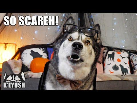 Husky Has Scary Encounter With A CAT Video! True Story!