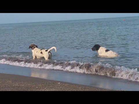 Crazy dogs taking Bath in the SEA