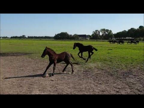 Foal playtime! With the Friesian horses.