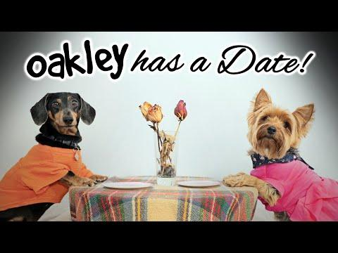 OAKLEY HAS A DATE! #Video - (Cute & Funny Dachshund Dogs Dating)