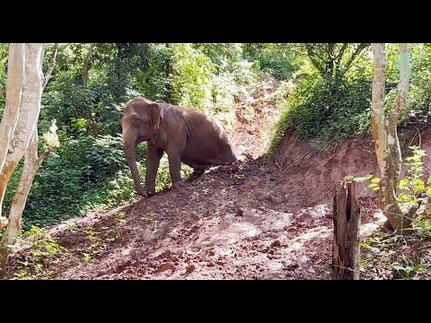 Elephant Slide Down From The Hill - ElephantNews #Video