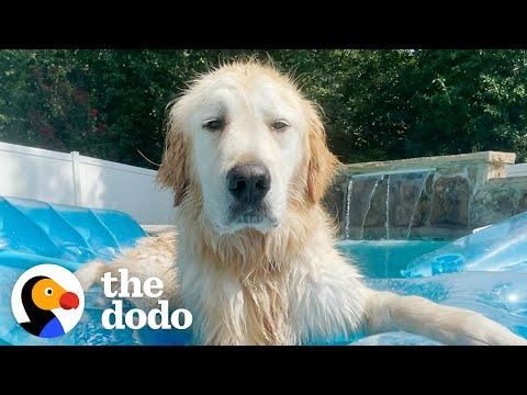 You'll Never Believe What This Golden Retriever Used To Look Like #Video