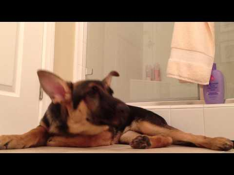German Shepherd Dog Sings Better Than His Human - Funny!
