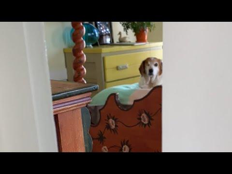 This senior beagle always gets super excited about his morning routine video